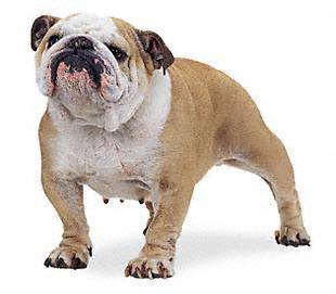 Big dog bulldog photo - 1