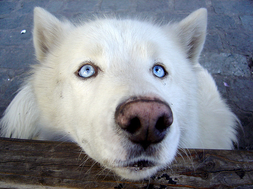 Big dog wolf photo - 2